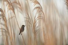 Le chanteur / The singer (#weevil) Tags: rousserolle effarvatteacrocephalus scirpaceuseurasian reed warblerpassériformesacrocephalidés birds