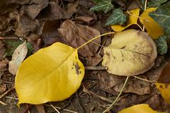 Decaying Nashi pear leaves (i-lenticularis) Tags: macroelmaritr60f28 cloudywbsetincamera decayingnashipearleaves fall autumn