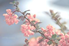 Tige florale (Projets photos - +Mon groupe ABCédaire) Tags: flickr flickrelite flickrelitegroup fleur rose photo photographesamateursdumonde pdc extérieur douceur diagonales nikoneurope nature naturebynikon nikon 7dayswithflickr 7dwf