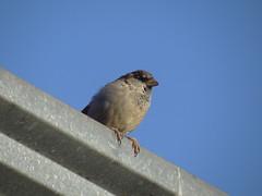 DSC00416 Pardal (familiapratta) Tags: sony dschx100v hx100v iso100 natureza pássaro pássaros aves nature bird birds novaodessa novaodessasp brasil