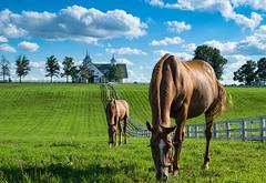 A perfectly Kentucky day (oliverstarks) Tags: kentucky horses manchesterfarm lexington fayettecounty bluesky horsefarms nikonphotography nikon nikond3300 equine horsephotography animals farm america summer fenceline clouds beautiful amazing perfect