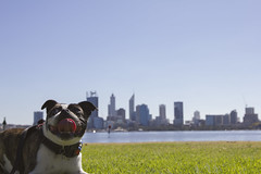 IMG_2241 (ben_king_85) Tags: canon 550d 1635mm frug pug french bulldog south perth