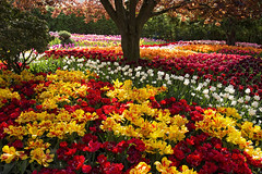 Rainbow Cloud (Synapped) Tags: tulips washington garden display red yellow flower horizontal spring