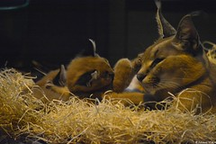 Maman caracal et ses petits (Johanna Viala) Tags: caracal