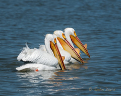 American White Pelican 20170403_0281 (GORGEous nature) Tags: americanwhitepelican california pelecanuserythrorhynchos siskiyouco spring tulelakenwr vertebrates bird foraging water wetland april ©johndavis