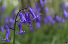 Tiegemberg_3 (hugomaes1) Tags: hyacinth hyacinthus hyacint tiegembos tiegemberg flowers