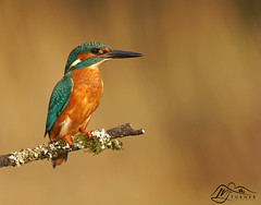 Kingfisher, Perched (►►M J Turner Photography ◄◄) Tags: kingfisher malekingfisher male bird animal wildlife outdoor scotland southscotland dumfriesgalloway dumfriesandgalloway perch perched perchedkingfisher kingfisheronperch morning morninglight