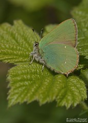 Green Hairstreak, Callophrys rubi (Nature Exposed) Tags: greenhairstreak hairstreak hairstreaks butterfly butterflies insects insect lepidoptera macro macrophotography butterflyconservation nature natureexposed leighprevost leighprevostphotography insectmacro wildlife wildlifephotography wild sussex devilsdyke eastsussex
