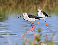 Black-winged Stilts (Grandpa@50) Tags: challengeyouwinner cyunanimous friendlychallenges friendly challenges cy2