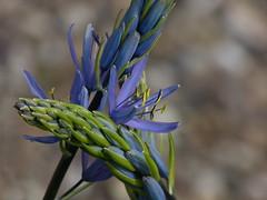 Camassia (joeke pieters) Tags: 1340100 panasonicdmcfz150 camassia bloem flower platinumheartaward ngc