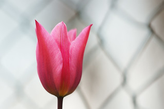 Blured fence. Pink tulip.