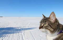 Miisa checks out the beach (pretty hard to take a dip in the sea..) (andymiccone) Tags: sea frozen ice lapland finland cat kitten miisa easter tabby