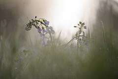 Anthocharis cardamines (Yvan Barbier) Tags: anthochariscardamines anthocharissp aurore insecta insectes lepidoptera lépidoptères papillons pieridae rhopalocera rhopalocères
