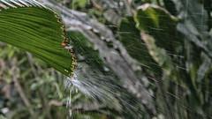 Hopefully No Rain On Easter (Lens Daemmi) Tags: biosphäre blatt palme potsdam regen leave palm rain brandenburg deutschland de