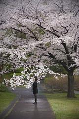 SAKURA (ai3310X) Tags: none 桜 carlzeiss ycontax sonnar t2885 ポートレート portraits