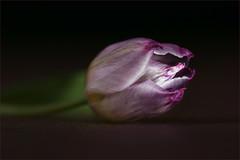 Tulip. Relaxing. In the spotlight. (Gudzwi) Tags: mysterious blume flower spotlight still tulip tulpe violett violet rampenlicht macro