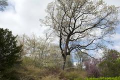 Conservatory Garden (Terese Loeb) Tags: trees conservatorygarden urbangarden citygarden uppereastside manhattan newyorkcity newyork springtime spring bloomingtrees flowers floweringtrees pink white