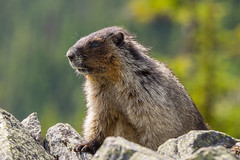 Marmot look out 2 - in Glacier National Park Canada (phhesse) Tags: perley rock marmot murmeltier summer sommer canada kanada british columbia bc hiking glacier gletscher national parc nationalpark park olympus em1 100400mm leica alpine alpin animal wild nature stones berge mountains perlen