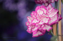 Carnation_3 (Rajesh_Verma_1964) Tags: carnation flowers beautifulflowers spring vibrant colors hues canon600d 50250mm bokeh magenta