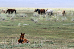 Relaxing Foal, Wild Horses, Adobe Valley, California (rollie rodriguez) Tags: relaxingfoal wildhorses adobevalley california