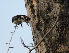 Hairy woodpecker (canuck4everr) Tags: hairy woodpecker hairywoodpecker picoidesvillosus
