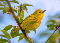 Yellow Warbler (tresed47) Tags: 2017 201704apr 20170423chestercountymisc birds canon7d chestercounty content extonpark folder pennsylvania peterscamera petersphotos places takenby us warbler yellowwarbler ngc npc