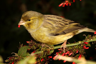 Striped Tailed Yellow Finch