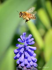 Schwer beladen.... (Siggi2409) Tags: insekten biene honig outdoor hyazinthe flug