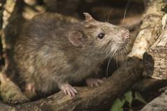 RAT (_jypictures) Tags: rat animalphotography animals animal canon canon7d canonphotography wildlife wildlifephotography wiltshire nature naturephotography photography pictures
