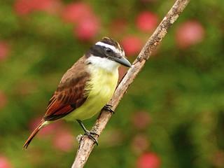 Great Kiskadee / Pitangus sulphuratus, Asa Wright Nature Centre, Trinidad