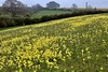 Cowslips (zanypurr) Tags: wildflowers cotswold brash cowslips explore