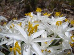 Leucocrinum montanum DSC00792 (sierrarainshadow) Tags: leucocrinummontanumhotspringmountain carsoncity nv