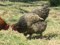 C'est moi que tu cherches ?! (baba88500) Tags: poule chicken nature herbe verdure