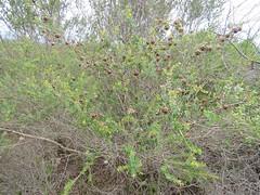 Leptospermum rotundifolium 5 (barryaceae) Tags: booderee avenue hyams beach jervis bay national park nsw australia aushp heath plant ausheathplant