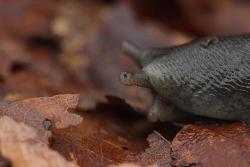 Great Grey Slug - Limax maximus