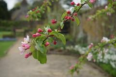 blossom in April (quietpurplehaze07) Tags: blossom walledgarden pink dof