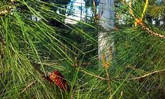 Needle leaves (Frantastic.) Tags: pine pinecone needle piña aguja hoja leaf leaves tree trees árbol árboles nature trunk naturaleza montijo extremadura badajoz sur south spring primavera europe europa landscape paisaje