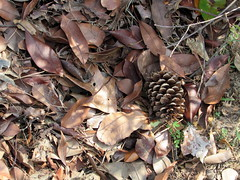 Fallen Leaves And Pine Cone. (dccradio) Tags: lumberton nc northcarolina robesoncounty outside outdoors nature pinecone stick sticks leaves fallenleaves oldleaves