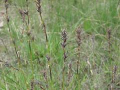 Schoenus villosus 5 (barryaceae) Tags: kallaroo road jervis bay national park nsw australia ahp heath plant