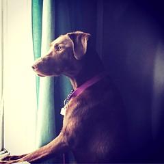The road that lies ahead... #labrador #retriever #chocolate #lab #dog #puppy #window #home (lilylabphotography) Tags: labrador retriever chocolate lab dog puppy window home