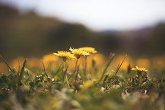 Dandelion (moaan) Tags: asukamura nara japan jp ishibutaikofun dandelion wildflowers findofflowers bokeh bokehphotography dof depthoffield selectivefocus littlethings utata 2017 canoneos5dsr ef1635mmf4lisusm