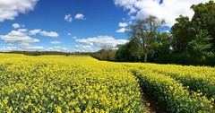 Fields of Golden Yellow (Andrew Cooper 2017) Tags: beautiful colour colourful dorset england flower flowers green geotag geotagged kingstonlacy nature naturephotography natural photography photograph photooftheday spring tags trees tree uk unitedkingdom vivid yellow sunlight blue bluesky neonics pesticide pollination neonicotinoid insect landscape science scientificresearch butterflyconservation butterfly butterflies countryside may