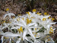 Leucocrinum montanum DSC00790 (sierrarainshadow) Tags: leucocrinummontanumhotspringmountain carsoncity nv