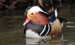 mandarijneend blijdorp JN6A9714 (joankok) Tags: eens duck mandarijneend manderinduck asia azie vogel bird watervogel waterbird blijdorp