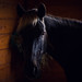 Lucy Looks In (Jen MacNeill) Tags: horse horses detail equine farm stable light barn mountainhorse