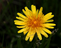 Dandelion Flower 04-17-17 (MelenaMe) Tags: dandelion flower weed plant grass lawn yard patio leaf leaves