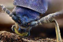 Coleoptero, cara a cara (Anddune) Tags: coleoptero macro macrofotografia meg insecto bug bicho antena escarabajo