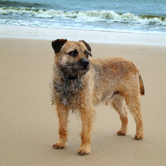 on Tenby beach . . . George the Border Terrier (orangecapri) Tags: sea dog beach wales canon seaside sand cymru terrier tenby borderterrier dogportrait dogexpression blinkagain