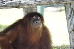 Orang Utan (Taufan Gunarso) Tags: wild animal indonesia zoo wildlife sony ii orangutan ssm natgeo 70400mm alpha99 70400
