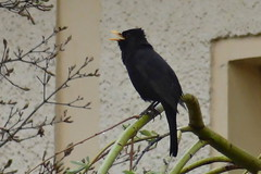 Amsel (MyWorldsView) Tags: black bird nature animal closeup natur blackbird tier vogel amsel